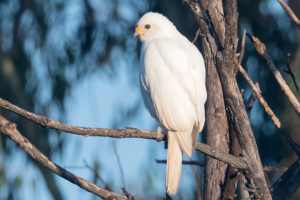 Grey Goshawk (White Morph) An unusaul visitor to Banyule Flats in May 2017.