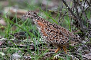 Painted Button-quail