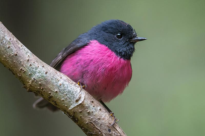 Pink Robin (Petroica rodinogaster)