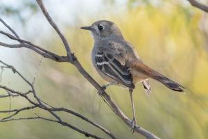 Southern Scrub Robin