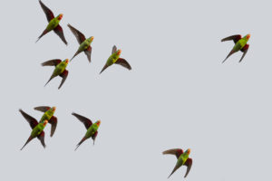 Swift Parrots Along the Greensborough trail in 2016