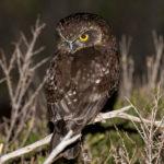 Tasmanian Boobook Owl