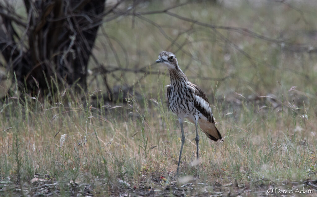 Bush Thick Knee